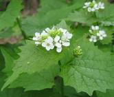 Invasive Garlic Mustard